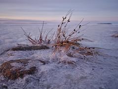 Heinää jäällä (pikkuanna) Tags: oulu 2017 meri sea ranta shore lumi snow jää ice talvi winter