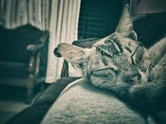 Sleeping beauty. #iPhonePhotography (abdullahusa006) Tags: snapseed phoneshot beauty sleepyhead focus love cat pet iphonephotography