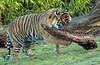 sumatran tiger Burgerszoo JN6A9793 (j.a.kok) Tags: burgerszoo tijger tiger sumatraansetijger sumatrantiger pantheratigrissumatrea cat kat predator sumatra asia azie mammal zoogdier