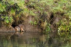 sortie a deux (rascal76160) Tags: rat ragondin animal riviere