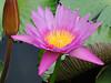 Blooming Lotus Flower (hastuwi) Tags: trowulan jawatimur indonesia idn eastjava kraton