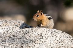 IMG_9427 (ben.roberts999) Tags: goldenmantledgroundsquirrel mammal nv ophircreek reno squirrel tahoemeadows usa wildlife