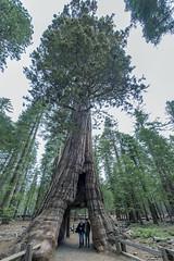 RIP Tunnel Tree (acase1968) Tags: ellie ryan tunnel tree yosemite mariposa grove nikon d600 nikkor 1424mm f28g california giant sequoia cabin pioneer tunneltree pioneercabin