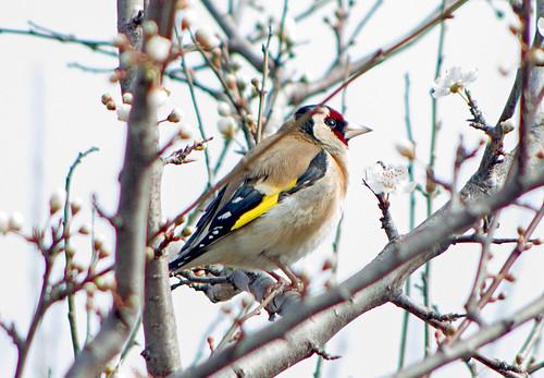 Черноголовый щегол (Обыкновенный щегол) / Carduelis carduelis / European goldfinch / Кадънка / Stieglitz