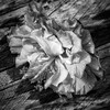 Wilting Flower in Mono (Costa Rica Bill) Tags: flower nature nopeople fragility beautyinnature closeup outdoors day flowerhead freshness monochrome