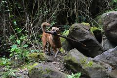 Tigger Playing (Bob Hawley) Tags: longfongwaterfall zhongliaotownship nikond7100 nantoucounty nikon2870mmf3545afd asia taiwan outdoors nature forest trees dogs taiwantugou pets rocks water playing sticks