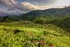Cameron highlands-Tea plantation (Jhaví) Tags: nature naturaleza verde green colina hill paisaje campo asia plantation tea libre aire landscape flores té plantaciones highlands cameron malasia malaysia