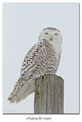 Harfang des neiges / Snowy Owl 153A7731 (salmo52) Tags: oiseaux birds salmo52 alaincharette harfangdesneiges snowyowl oiseaudeproie birdofprey rapaces buboscandiacus baiedufebvre