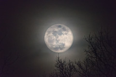 quicksilver moon (Sky Noir) Tags: moon changing light rises thin veil clouds tree tops unpredictably mood dark night full luna sky nature outdoors wolf