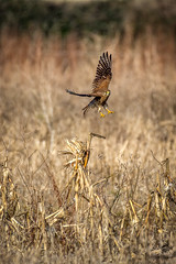 ''Kestrel'' (Coming to you) (marcbryans) Tags: portlanddorset portlandbill birdsofprey raptors kestrels nikond7100 nikkor200500mmf56e