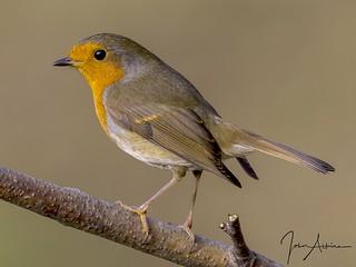 Robin at Nene Park 31/10/16