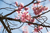武陵櫻花 (Hamster620) Tags: 台灣 taiwan 武陵農場 wulingfarm 樹 tree 植物 plant 花 flower