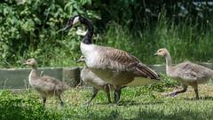 Canada goose family (pstani) Tags: bird london goose canadagoose dagenham eastbrookendcountrypark