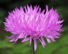 Knapweed flower (ekaterina alexander) Tags: pictures flowers summer england flower nature gardens garden photography blossom national trust bloom alexander knapweed nymans centaurea ekaterina hypoleuca