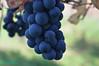 Uva della Majella - Abruzzo - Italy