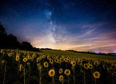 Sunflowers looking at stars (Stee65) Tags: seascape landscape luca europa italia mare famiglia andrea campagna turismo viaggi viaggio spiaggia marche ele ferie visita paesaggio vacanze eleonora tipo scogli lemarche regionemarche soggetto metaturistica