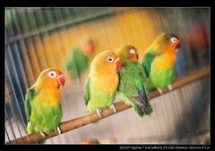 DSC03176 (YKevin1979) Tags: bird hongkong 50mm md minolta bokeh sony vegetation 50 mongkok manualfocus  f12  birdgarden rokkor  a7ii    a7mark2 ilce7m2