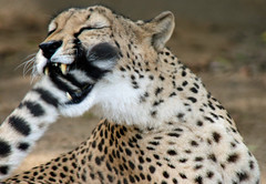 Got it! (Penny Hyde) Tags: canon funny bigcat cheetah shared flickrbigcats flickrbestcreatures