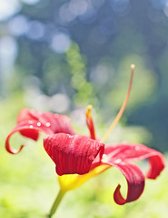 HBW! (Sandra H-K) Tags: flower nature outside bokeh tigerlily 35mm14 bokehwednesday canon70d