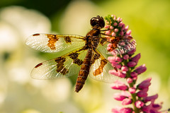 Dragonfly2 (bprice0715) Tags: flowers summer flower macro colors canon garden insect colorful purple dragonfly bokeh vibrant ef100mmf28lisusmmacro canon70d
