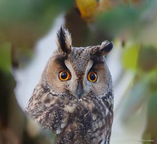 Long-eared Owl - Ransuil - Asio otus -5214