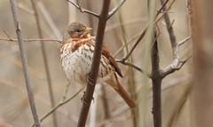 Fox Sparrow (passerella iliaca) (mrm27) Tags: usa sparrow foxsparrow passerellailiaca passerella centralpark newyork newyorkcity