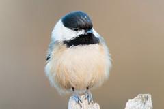 Black-capped Chickadee (Matt F.) Tags: bird chickadee