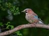 DSC_1122 Jay (Rattyman76) Tags: corvid jay bird feathers
