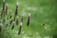 Throwback to days like these (2jaysjoju) Tags: new year 2017 bees insects flying green bokeh garden summer sunshine lavender nikond5300