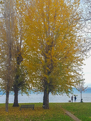 chat along the shore of Castiglione del Lago (phacelias) Tags: autunno autumn herfst lake lago meer bench panca bank yellow giallo geel leaves foglie bladeren
