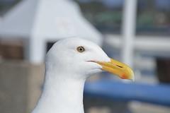 Western Gull (Mark Polson) Tags: western gull ca pacific ocean