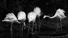 Flamingos - Study 1 (Ravikumar Jambunathan) Tags: brimming communication feathers fierce flemingoes four jambunathan juxtaposition life nature ravikumar talk wild