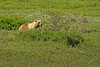 Grizzly Bear Munching on Plants in Unit 33 (jpmckenna - Tenquille Lake Up Next) Tags: alaska denali denalinationalpark landscape backpacking hiking nps tundra grizzlybear ursusarctoshorribilis