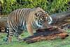 sumatran tiger Burgerszoo JN6A9795 (j.a.kok) Tags: burgerszoo tijger tiger sumatraansetijger sumatrantiger pantheratigrissumatrea cat kat predator sumatra asia azie mammal zoogdier