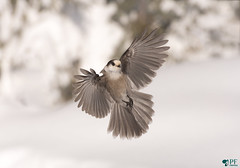 Fly like an eagle! Mesangeai du Canada - Grey jay (pascaleforest) Tags: oiseau bird animal boréale winter snow hiver passion nature wild wildlife fauna forêt forest flying voler forêtmomorency québec canada nikon