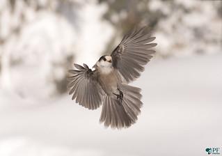 Fly like an eagle! Mesangeai du Canada - Grey jay