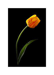 Yellow Tulip (The Visioneer) Tags: tulip yellow flower nature plant bulb