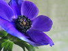 Purple Anemone (PrunellaCara) Tags: anemone purple flower macro closeup nature flowerportrait