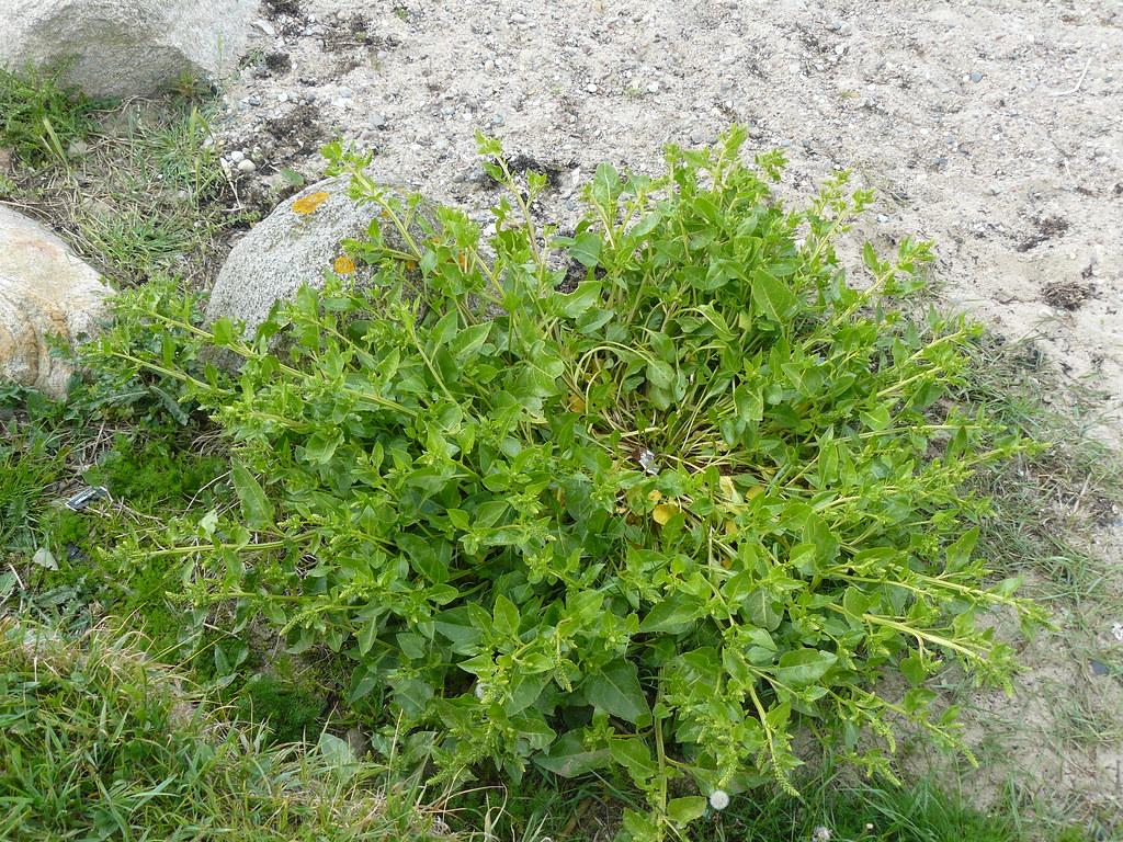 Beta vulgaris ssp. maritima-Wilde Rübe2