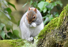 Paws for thought. (pstone646) Tags: squirrel animal wildlife nature fauna ashford kent woodland mammal treetrunk mossy