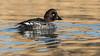 116.1 Brilduiker-20170119-J1701-42369 (dirkvanmourik) Tags: brilduiker bucephalaclangula castricum commongoldeneye noordhollandsduinreservaat vogelsvannederland bird