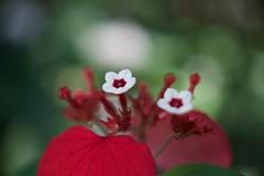 Mussaenda erythrophylla (Sugi Ong) Tags: makro macro closeup carl zeiss jena biotar vintage garden outdoor bellows dof bokeh boke flower red