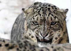 Bad Mood (Nephentes Phinena ☮) Tags: wildparklüneburgerheide schneeleopard snowleopard nikond500