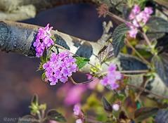 Lantana (♥ Annieta  off/on) Tags: annieta januari 2017 sonya6000 frankrijk france laseynesurmer vakantie holiday vacances natuur nature allrightsreserved usingthispicturewithoutmypermissionisillegal lantana bloem flower fleur flora pink roze