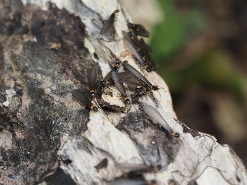 Reticulitermes speratus
