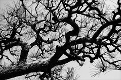 IMGP6525 Japan Tokyo (Dave Curtis) Tags: 2013 japan kx march pentax tokyo tree curly branches