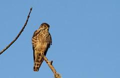 Merlin (jd.willson) Tags: nature birds island bay wildlife birding maine merlin jd penobscot falcoln willson islesboro jdwillson