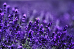 lavender (Smo_Q) Tags: summer pentax lavender poland desolation lawenda pentaxk3ii