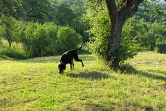 Frakk szimatol / sniffing dog (debreczeniemoke) Tags: morning summer dog meadow sniffing kutya nyár frakk reggel rét transylvanianhound erdélyikopó szimatol canonpowershotsx20is transylvanianbloodhound