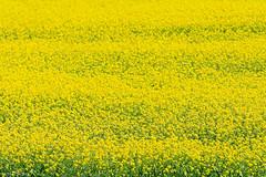 Rapeseed Flowers (oeyvind) Tags: tibet amdo     qinghai chn      gonghecounty